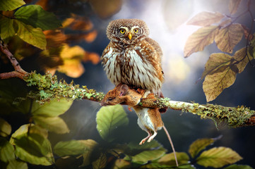 Small owl in deep magic forest. The Eurasian pygmy owl with mouse. Glaucidium passerinum Fotomurales
