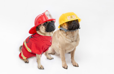 Cute pug dogs wearing a fire fighter hat and coat, and a pug wearing a construction hard hat