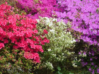 Papiers peints Azalea Older azalea bushes in full bloom. The blaze of color shines in pink and White from afar. A burst of color in spring
