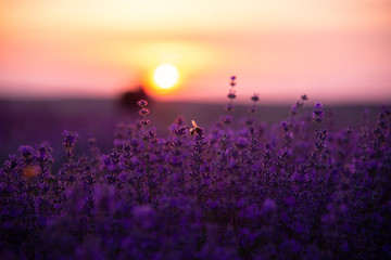a close up of lavender flowers with a bee on them at sunset.