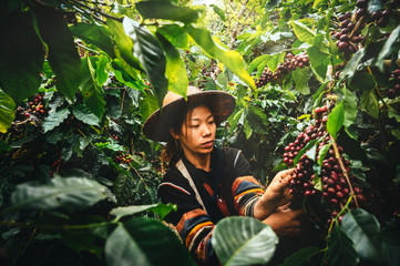 Woman farmer harvest arabica cherry coffee in coffee plantation. Ban Pang Khon the northern of Chiang Rai, Thailand. Wall mural