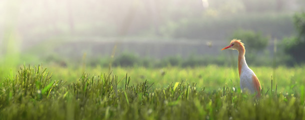 Photo sur Aluminium Oiseau white Crane in ricefield