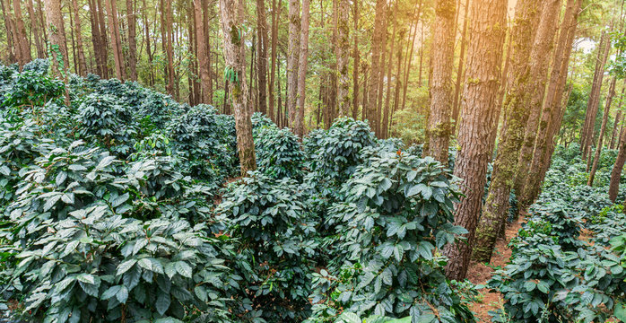 Group of fresh arabica coffee tree growing under the tree shade at plantation