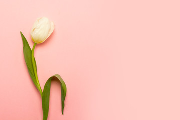 Keuken foto achterwand Tulp One white tulip on an isolated pink background. The concept of spring, holiday, postcard, March 8, mother's day. Banner. Flat lay, top view