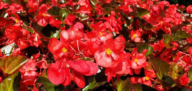 Bush of red flowers begonia cucullata. Panorama.