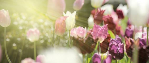 Foto op Textielframe Tulp tulpen rot violett panorama konzept