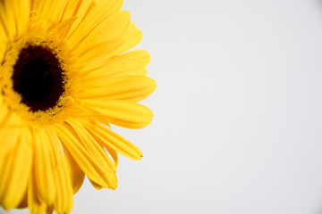 spring yellow gerbera flower
