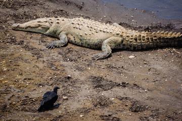 Printed roller blinds Crocodile Krokodil land Costa Rica