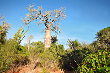 Poster Baobab Forest with small baobab and octopus trees, bushes and grass growing on red dusty ground