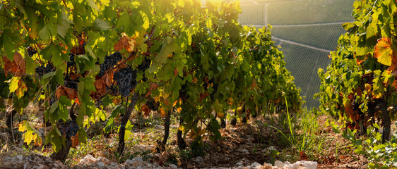 Close up of a vine at sunset. Wine making industry Fototapete