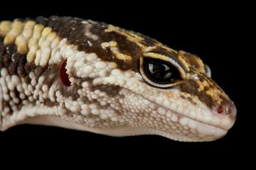 Wall Mural - East Indian leopard gecko (Eublepharis hardwickii)