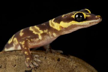 Wall Mural - Western marbled velvet gecko (Oedura fimbria )