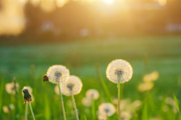 Tuinposter Paardenbloem Meadow of dandelions to make dandelion wine. Sunset or sunrise
