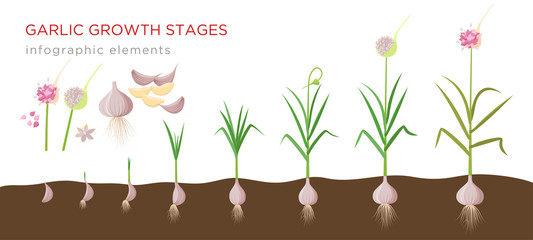Garlic plant growign stages from deeds, garlic sets to ripe garlic - set of botanical detailed infographic elements vector illustrations isolated on white background. Wall mural