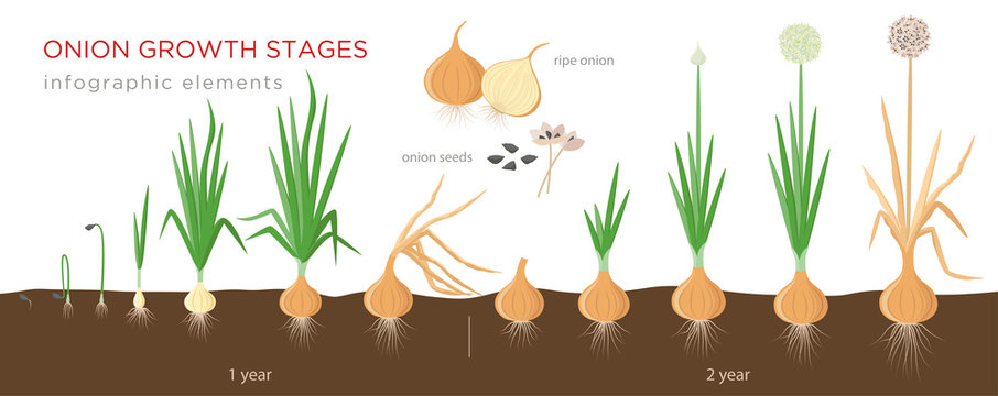 Onion plant growing stages from seeds to ripe onion - two year cycle development of onion - set of botanical detailed infographic elements, vector illustrations isolated on white background.