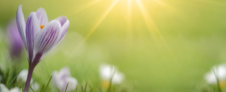 Spring awakening - Blossoming purple white crocuses on a green meadow illuminated by the morning sun - Spring background panorama banner with space for text