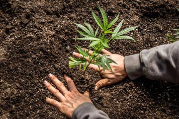 Marijuana Farm Industry - weed and commercial cannabis