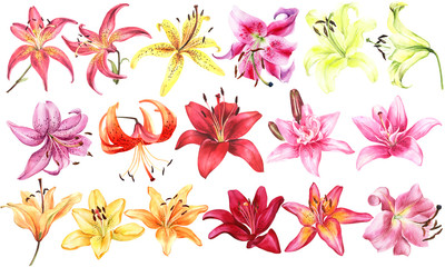 Big set of elegant lilies, red yellow orange pink lily flowers on an isolated white background, watercolor illustration, collection, set of watercolor flower.