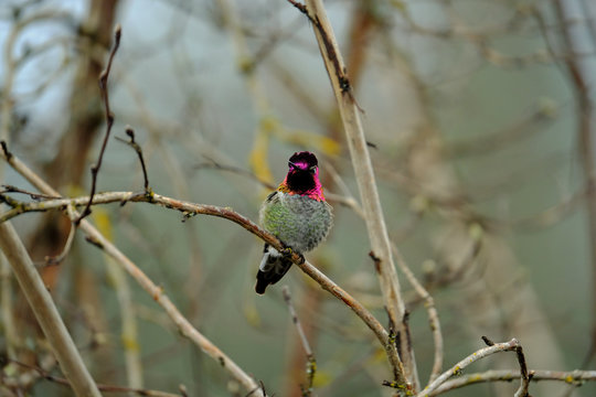 Anna's hummingbird on branch