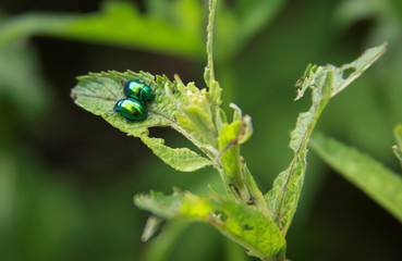 Two gem-like shiny insects on green leaf