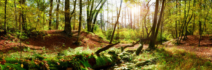 Forest panorama in autumn with bright sun shining through the trees