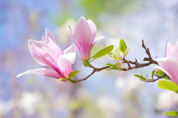 Wall Mural - Pink magnolia flowers bloom in blooming spring mysterious garden on blue sky background, beautiful fairy tale springtime nature, fantasy fabulous landscape