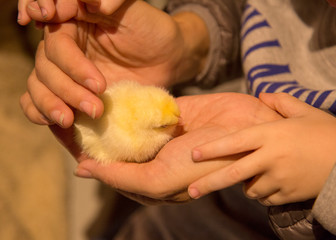 chick in hands