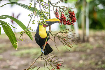 Yellow throated toucan closeup portrait eating fruit of a Palm tree in famous Tortuguero national park Costa Rica