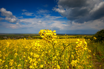 Wall Mural - Beautiful fields of Bright yellow wild flowers. Summer. Winter cress. Barbarea.