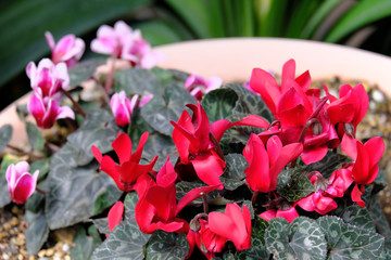 Photo sur Plexiglas Rose banbon プランターの上に咲いた赤と紫の花