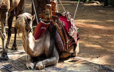 Photo sur Toile Chameau wielbłąd zwierzak dromader