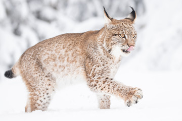 Papiers peints Lynx Young Eurasian lynx on snow. Amazing animal, walking freely on snow covered meadow on cold day. Beautiful natural shot in original and natural location. Cute cub yet dangerous and endangered predator.