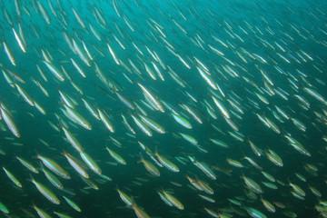 Fototapete - Sardines fish fry underwater