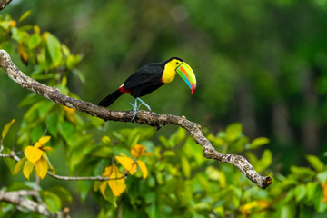 Photo sur Aluminium Toucan Ramphastos sulfuratus, Keel-billed toucan The bird is perched on the branch in nice wildlife natural environment of Costa Rica