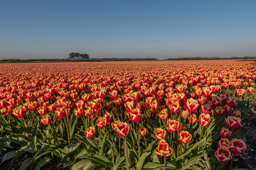 Tulip fields are in bloom, all colors can be seen in a meadow