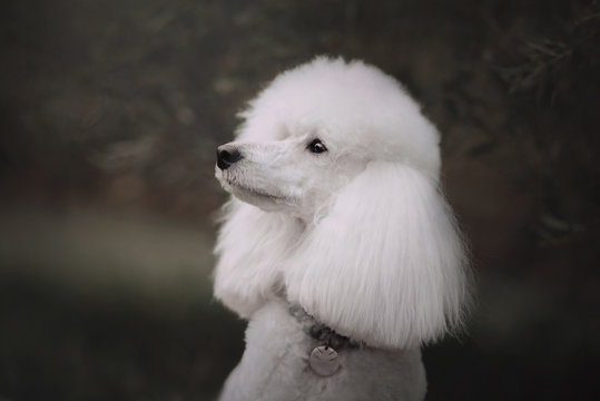 white poodle dog posing in a collar and id tag outdoors