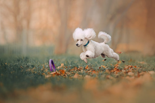 happy white poodle jumping after a toy outdoors