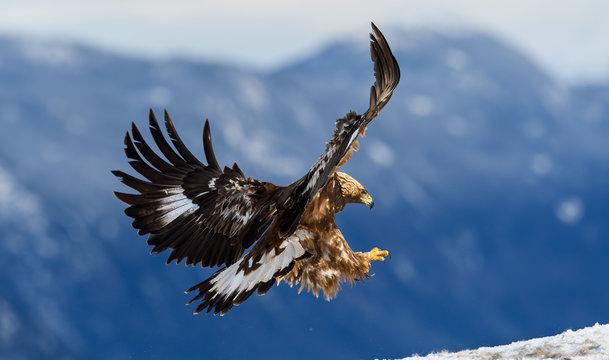 Norwegian golden eagle (Aquila chrysaetos) in winter snow