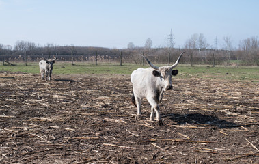 Gray cattle in the farm