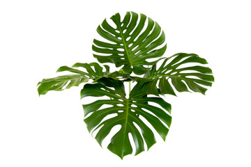 Green leaves of tropical plants bush (Monstera) floral arrangement indoors garden nature backdrop isolated on white background thailand, clipping path inclu