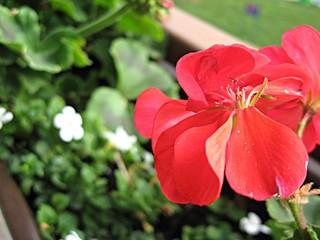 Obraz Czerwony kwiat na balkonie - fototapety do salonu