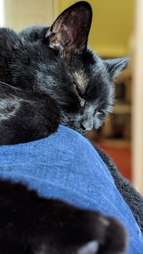 British Shorthair black cat lay across a person's knee with the main focus on the head and face.