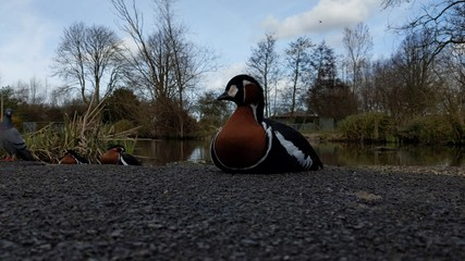 A red breasted goose sat on tarmac footpath near the water's edge with trees and foliage in the background.