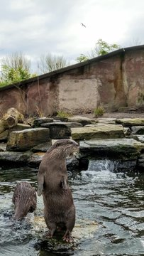 Asian Short Clawed Otter stood on a stone surrounded by water looking at the surroundings.