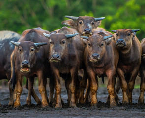 Tuinposter Buffel A herd of Asian water buffaloes looks at the photographer for a group picture.