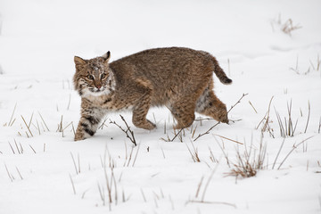 Wall Mural - Bobcat (Lynx rufus) Steps Through Snow One Ear Back Winter