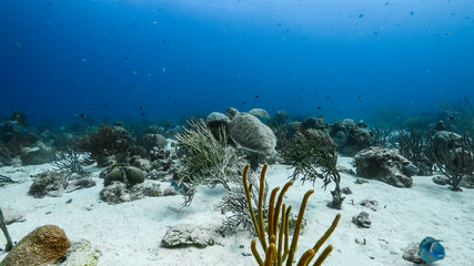 Seascape in turquoise water of coral reef in the Caribbean Sea around Curacao with Green sea Turtle, coral and sponge