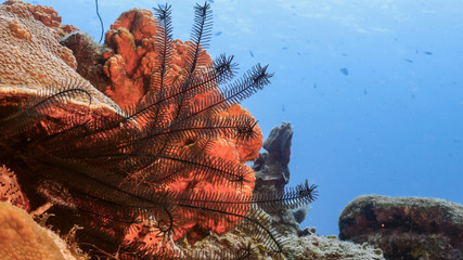 Seascape of coral reef in Caribbean Sea / Curacao with coral, sponge and Crinoid