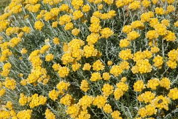 Helichrysum stoechas, everlasting curry plant