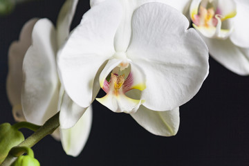 Flowering of big white orchid large leaves